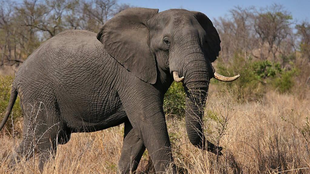 Um kleine Nahrungsstückchen aufzunehmen, können Elefanten bei ihrem Rüssel eine Saugfunktion aktivieren, wie Forschende berichten. (Archivbild)