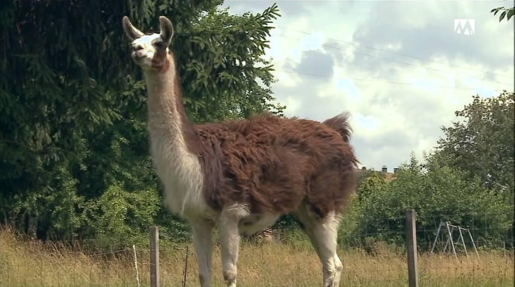 Niemand vermisst ausgebüxtes Lama