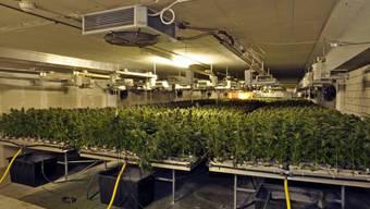 Die Schaffauser Polizei entdeckte 2012 diese Indoor-Hanfplantage in einem Industriekomplex. Hier wuchsen 8'000 Pflanzen.