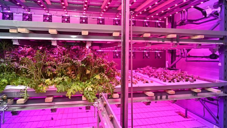 Die «Robotic Vertical Farming»-Versuchsanlage des Jungunternehmers Marcel Florian im solothurnischen Gretzenbach.