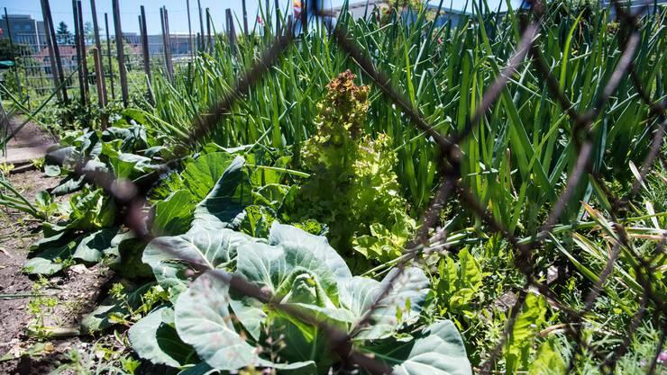 Die Bleigärten am Dreispitz: in den Familiengärten ist der Boden mit Blei vergiftet und somit auch das Gemüse.