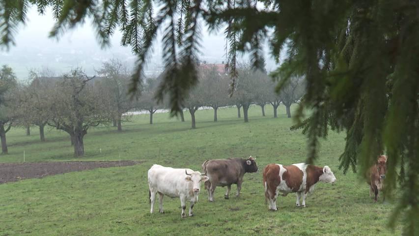 Es lebe die Kuh: Altersheim für Kühe sucht Patenschaften