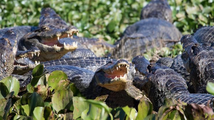 Im Pantanal sind Kaimane omnipräsent. Bild: Getty Images