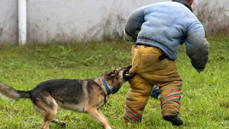Ein Schäferhund attackierte in Tenniken ein dreijähriges Kind und eine 37-jährige Frau. Er wurde nun in Gewahrsam genommen. (Symbolbild: KEYSTONE/Urs Flueeler)
