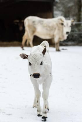 Dem jungen Stierkalb, welches am Abend des 15. Dezembers von Mutter Fausta (6) geboren wurde, scheint die Kälte aber nicht viel auszumachen.