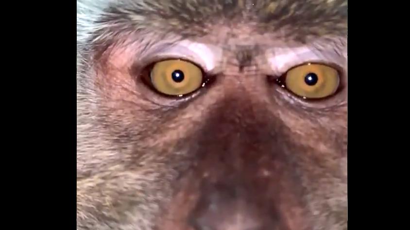 Affe schnappt sich Handy und macht Videos und Selfies. (Screenshot Twitter@Zackrydz)