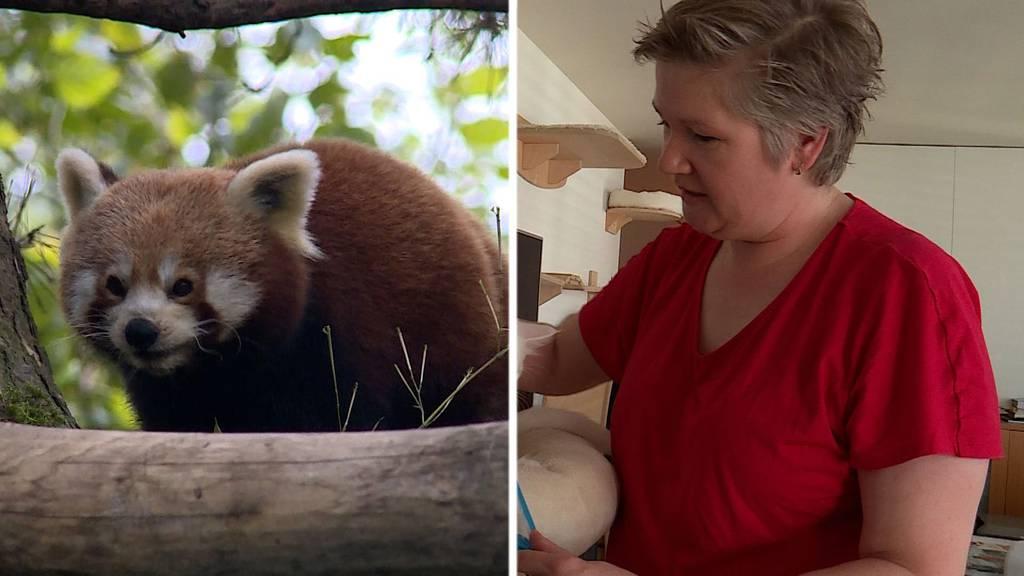 Roter Panda / Katzenhebamme