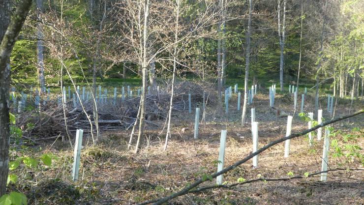 Auf zwei Flächen in unmittelbarer Nähe wurden im Lohner Oberwald 500 Eichen gepflanzt, in der Absicht, dass die Bäume den Wettereignissen wie Trockenheit und Wärme künftig trotzen können.