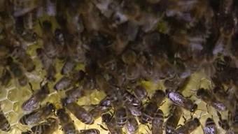 Ist die mangelhafte Ausbildung der Imker schuld am Bienensterben?