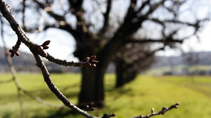 Sie brauchen den Kälteimpuls als Wecker: Knospen an den Bäumen. (Themenbild)