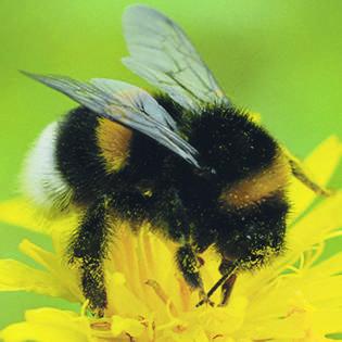 D Hummele ist ein erfahrener Schnitzelbänggler. Dieses Jahr legt er eine Pause ein und fliegt für die bz von Keller zu Keller, um die Blumen seiner Zunftkollegen zu beschnuppern.