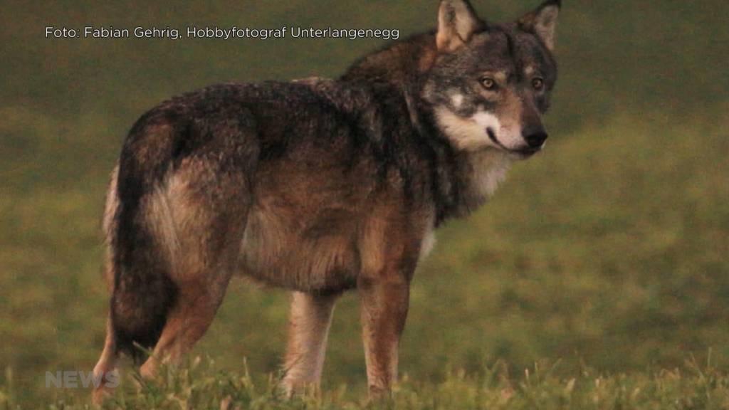 SVP Grossrat Knutti fordert Wolfabschuss