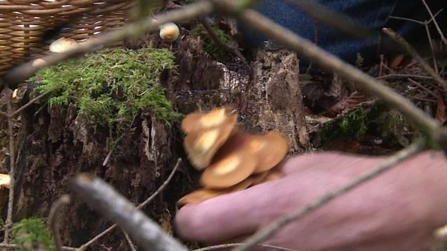 Pilzsammler gehen fast leer aus
