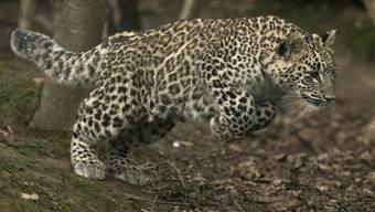 Im Nordkaukasus sind zwei Persische Leoparden ausgewildert worden.