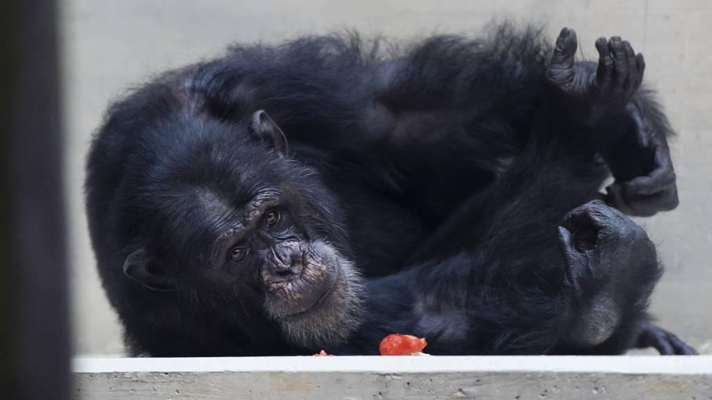 Auch Affen-Senioren leiden unter Stress
