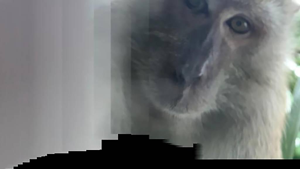 Affen-Selfie: Primat klaut Smartphone und macht Fotos