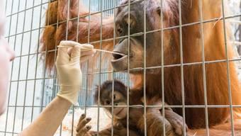 Wer ist der Vater der kleinen Padma? Um dies zu klären, wurde Orang-Utans im Zoo Basel für einen Vaterachaftstest mit Wattestäbchen eine Speichelprobe entnommen.