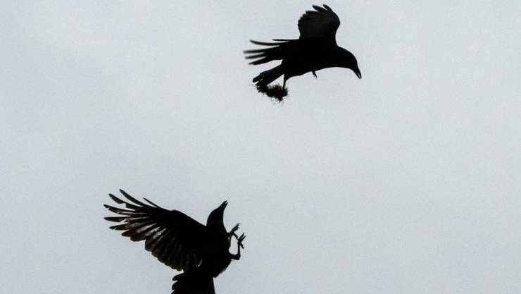 Krähen bringen manch einen Stadtberner um den Schlaf. Die SVP will die Vögel deshalb abschiessen lassen.