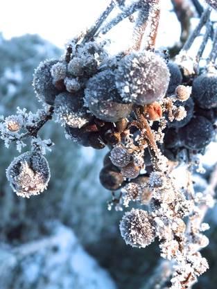 Frostverzierte Weinbeeren in Weiningen – oder süsse Eisbeeren für Wintergäste.