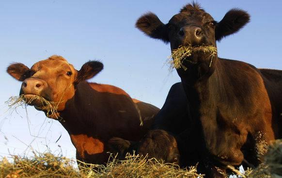 Die «Abgase» von Kühen belasten das Klima.
