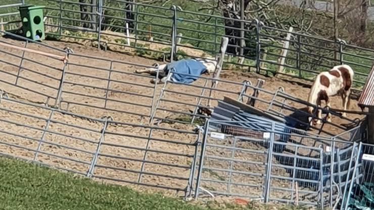 Das weisse Pferd lag mit einer blauen Decke am Boden und versuchte immer wieder aufzustehen. Ein Nachbar bemerkte dies und meldete den Fall.