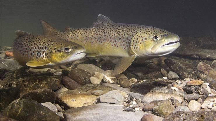 Es geschieht nicht nur in der Limmat. In der ganzen Schweiz beklagen sich Fischer über immer tiefere Fangzahlen. (Archivbild)
