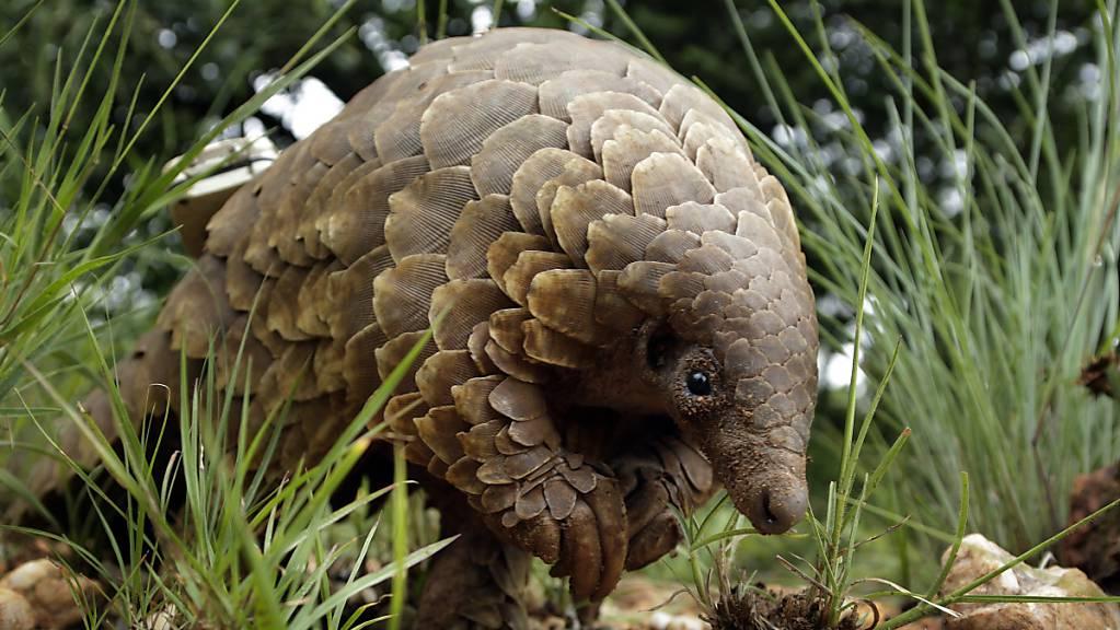 Ein Schuppentier (Manidae) sucht nach Futter.