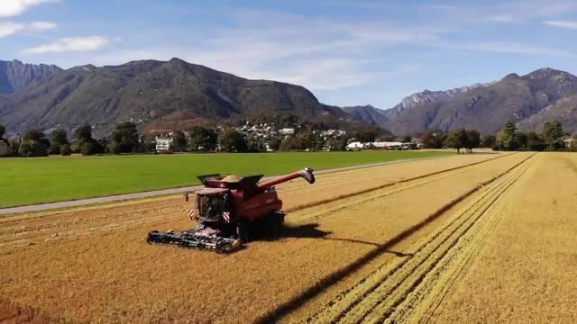 Im Tessin wird im Oktober Reis geerntet