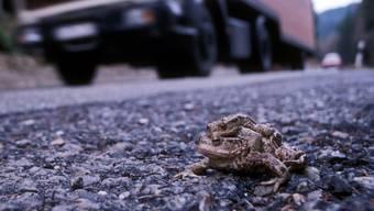 Für manche Erdkröten ist der Weg zum Weiher ein Spiessrutenlauf.