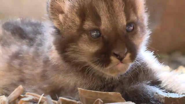 Raubkatzen-Nachwuchs im Plättli Zoo