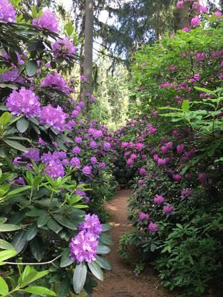 In einer Lichtung am Waldrand wachsen hunderte Rhododendren und Azaaleen