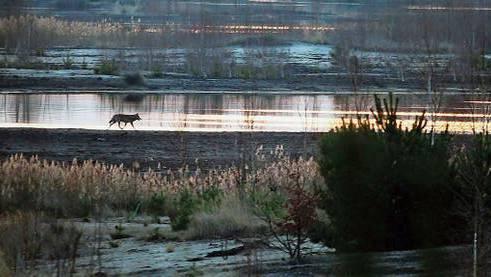 Seltene Aufnahmen, wie auf diesem Bild aus der Lausitz in Deutschland. In «Die Rückkehr der Wölfe» gibt es mehrere davon, auch spektakuläre.