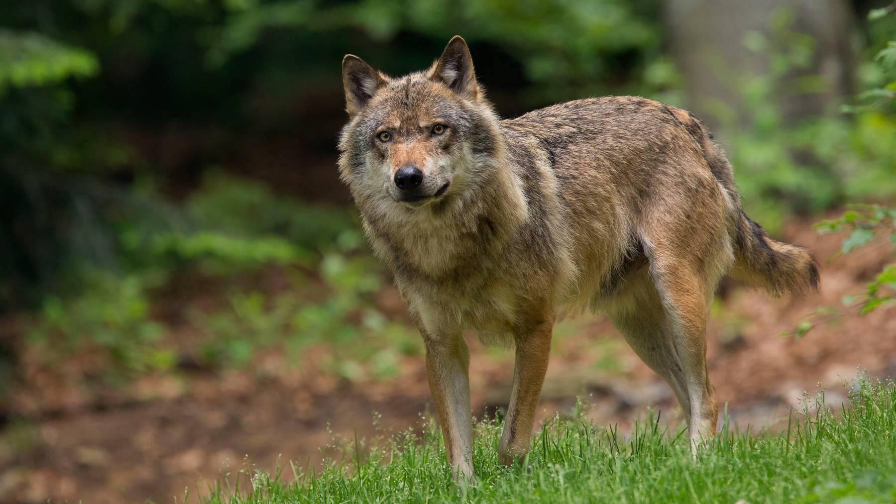 In der Region Wil treibt sich schon länger ein Wolf um.
