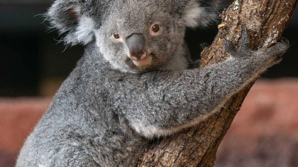 Koalaweibchen Pippa lebt nicht mehr