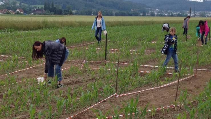 Die Kinder zupfen im Maisfeld den Mai innerhalb des Weges aus. Im Spätsommer soll das Maislabyrinth zugänglich sein.