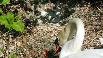 Da war noch alles in Ordnung: Acht Eier im Schwanennest an der Aare.Annelis Sturzenegger