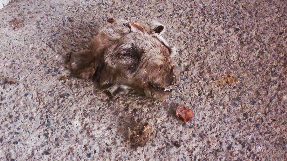 Frau findet abgetrennten Wildschweinkopf im Garten