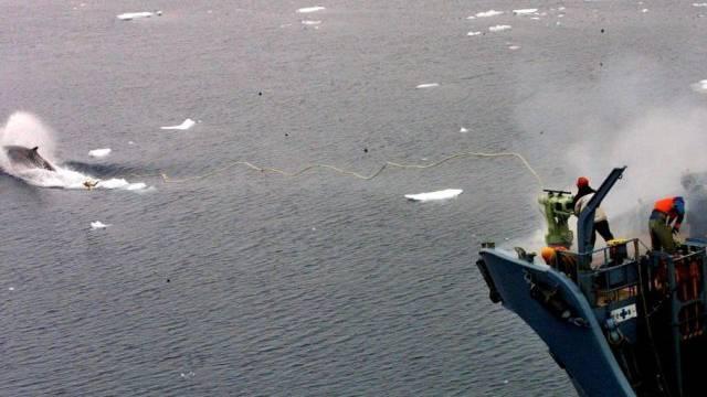 Walfang in der Antarktis (Archiv)