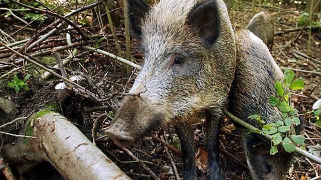 Wildschweine im Tierpark Langenberg bei Adliswil (Archiv)