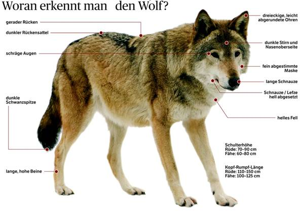Woran erkennt man den Wolf