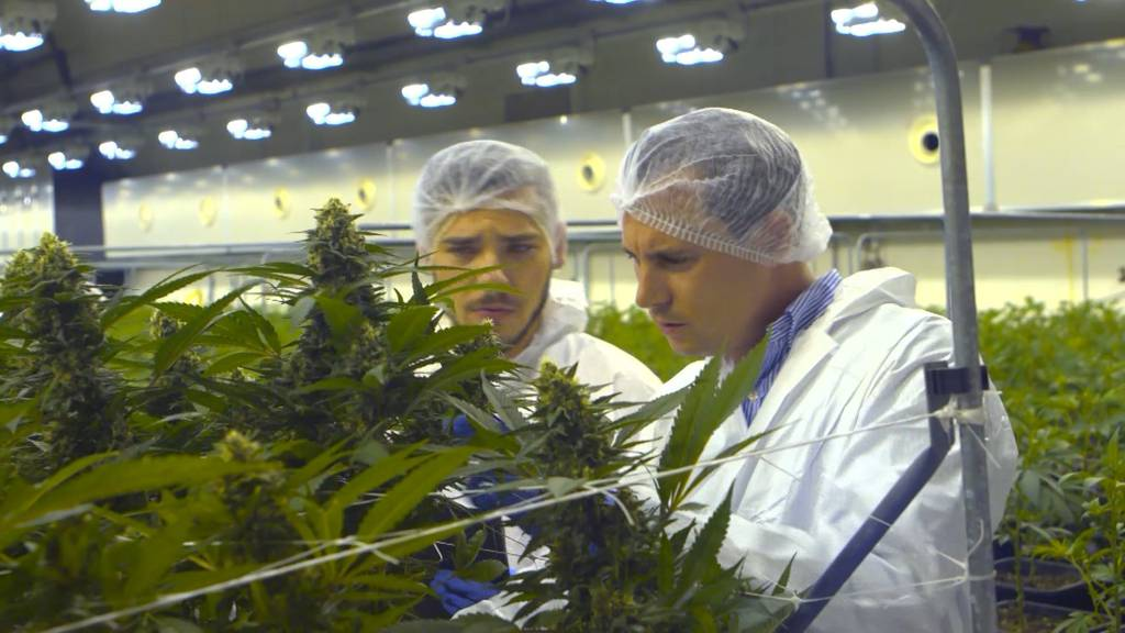 Cannabis: Medizin der Zukunft