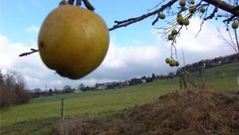 Ökologisch: Äpfel aus der Region für die Limmattaler Läden.