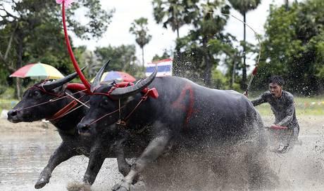 6b87d231f1b3e1 Wasserbüffel donnern bei Büffelrennen in Thailand durch den Schlamm