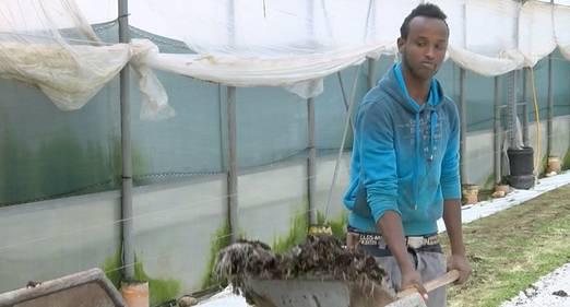 Beispiel aus dem Pilotprojekt des Bauernverbands: Der Somalier Abdi Fatah bei der Arbeit auf dem Hof von Gemüsebauer Andreas Eschbach in Füllinsdorf. Der Gemüsebauer aus dem Baselbiet ist einer der zehn am Projekt beteiligten Landwirte.