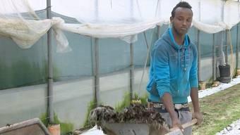 Kresse-Kontrolle und Salat abpacken: Der Somalier Abdi Fatah bei der Arbeit auf dem Hof von Gemüsebauer Andreas Eschbach.