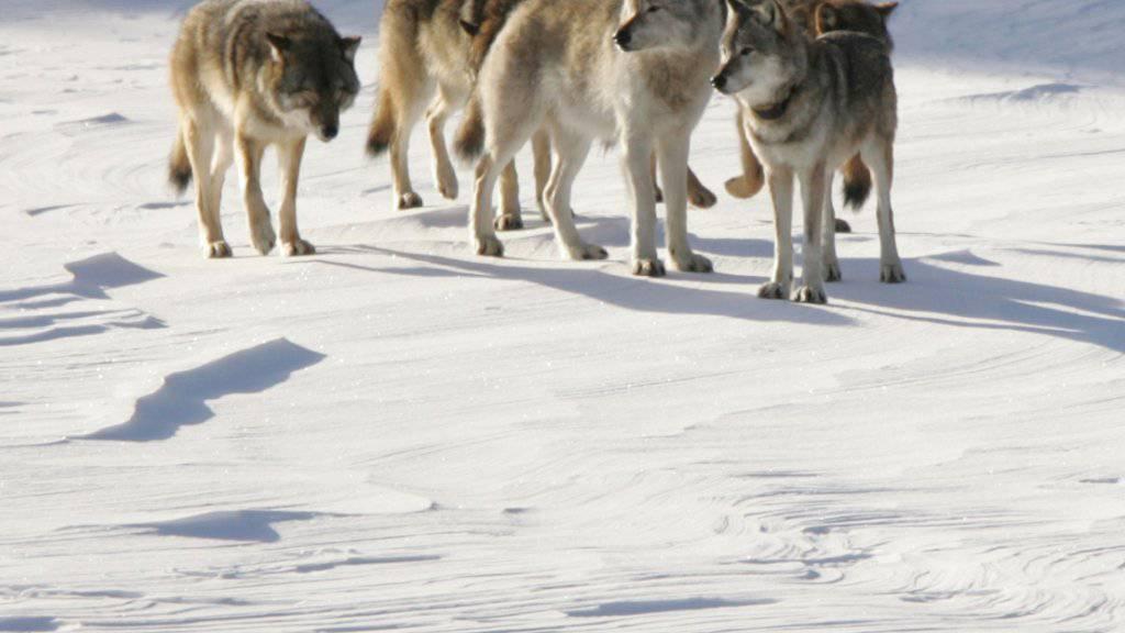 Anhaltender Stress schwächt das Immunsystem und schmälert damit die Überlebenschancen von Wölfen. (Archivbild)