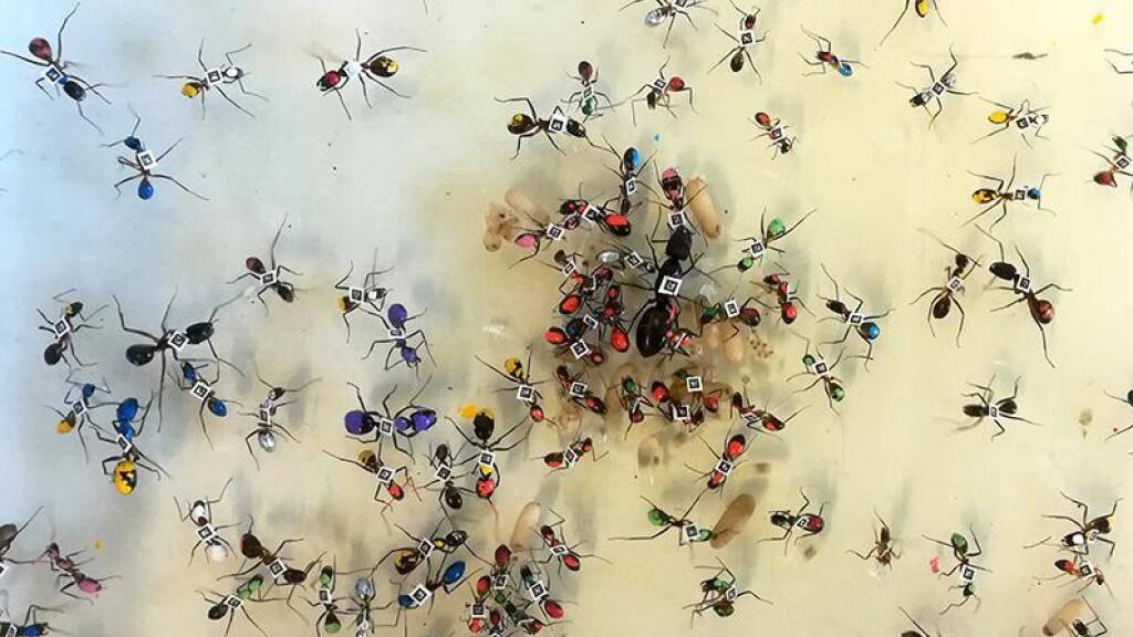 Ameisen mit ihrem Alter als Farb- und Barcode auf dem Rücken. Lausanner Forscher haben gezeigt, dass in Ameisenkolonien die «beruflichen» Aufstiegschancen nach dem Zufallsprinzip verteilt sind (Bild UNIL).