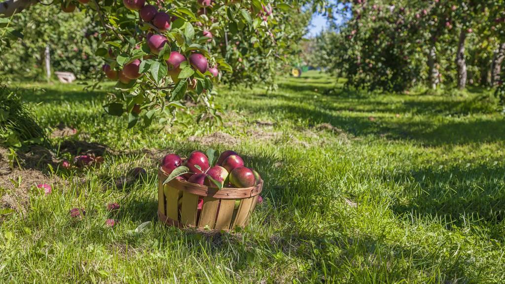 Apfelbaumdieb treibt sein Unwesen