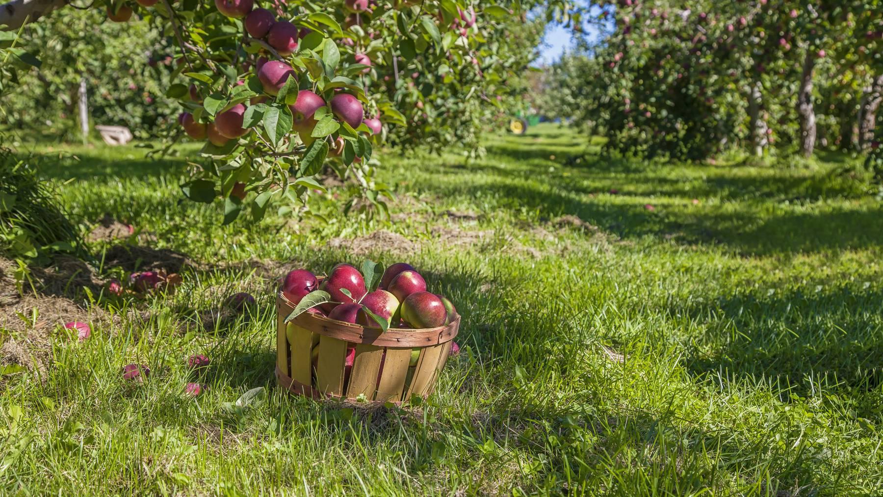 Im deutschen Hundersingen ist ein Apfelbaumdieb unterwegs. (Symbolbild)