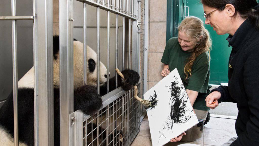 Das Panda-Weibchen «Yang Yang» im Tiergarten Schönbrunn betätigt sich als Malerin. Die «Kunstwerke» sind Teil eines Crowdfunding-Buchprojekts über die Geschichte der Grossen Pandas im Wiener Zoo.